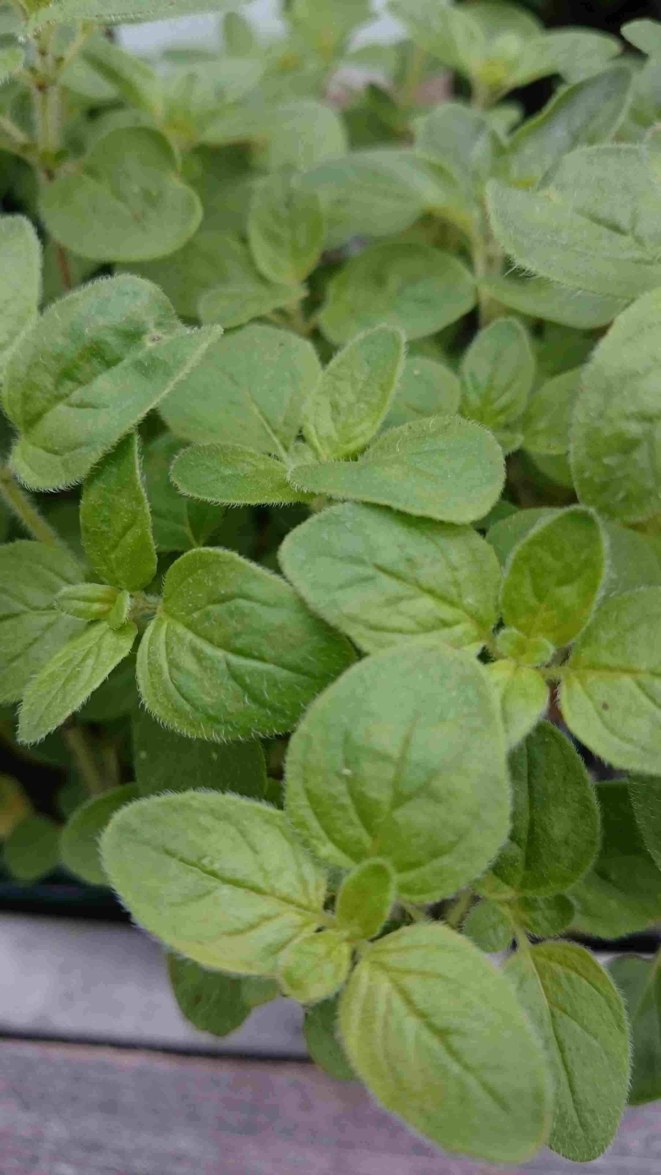 Hyssop (Hyssopus officinalis)-Plant in pot-C1,5