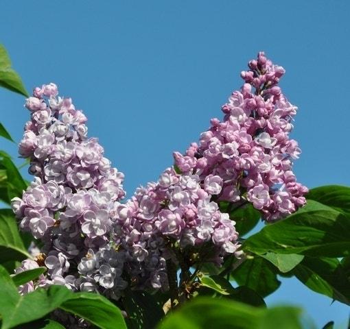 Sering (Syringa vulgaris 'Duc de Massa')-Plant in pot-50/60 cm. Kleur: paars