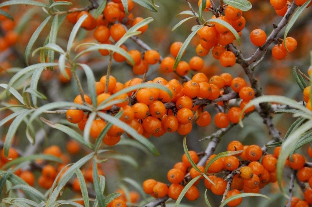 Duindoorn (Hippophae rhamnoides 'Leikora')-Plant in pot-50/60 cm