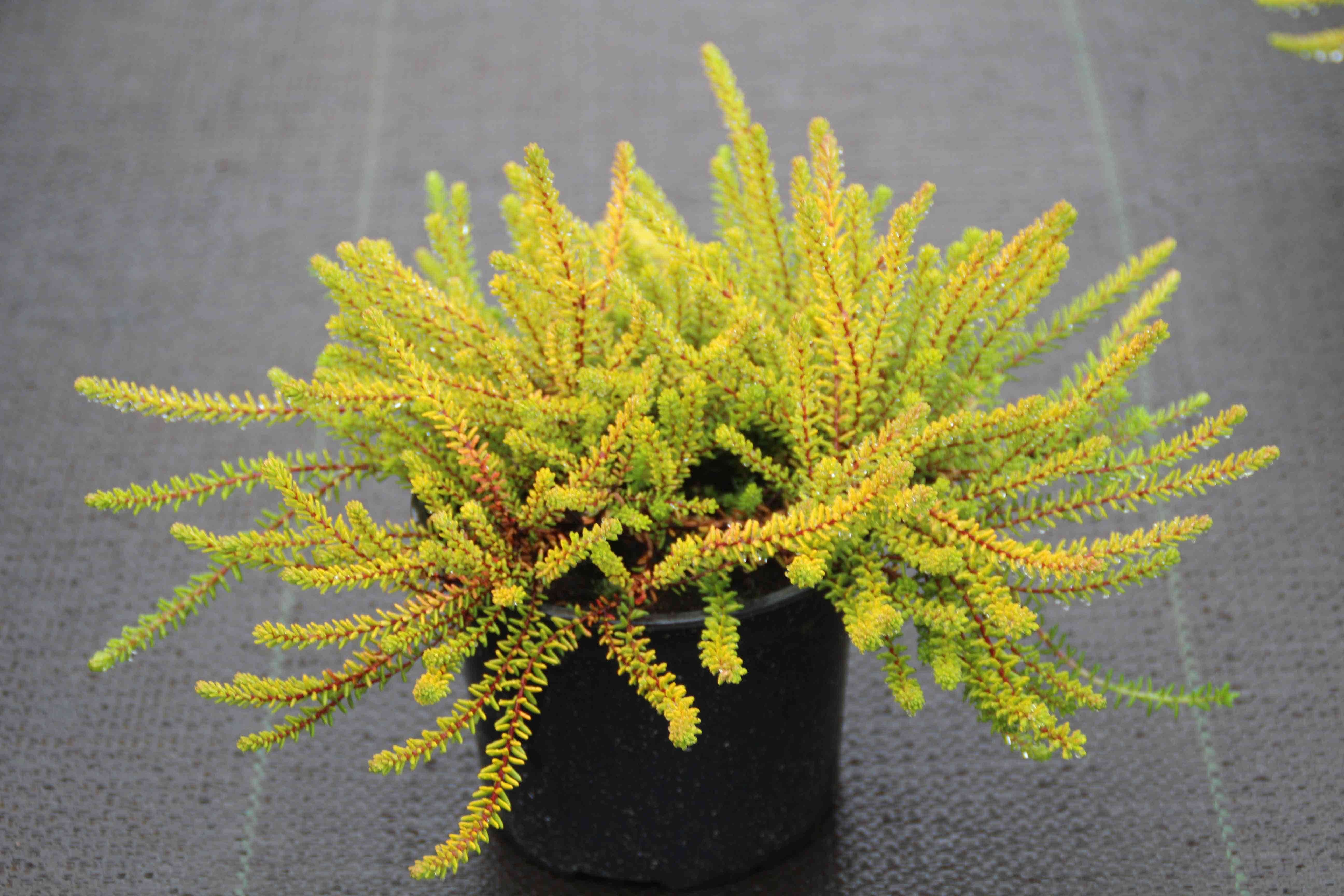Kraaiheide geel (Empetrum nigrum 'Bernstein') 15/20 cm. Kleur: paars