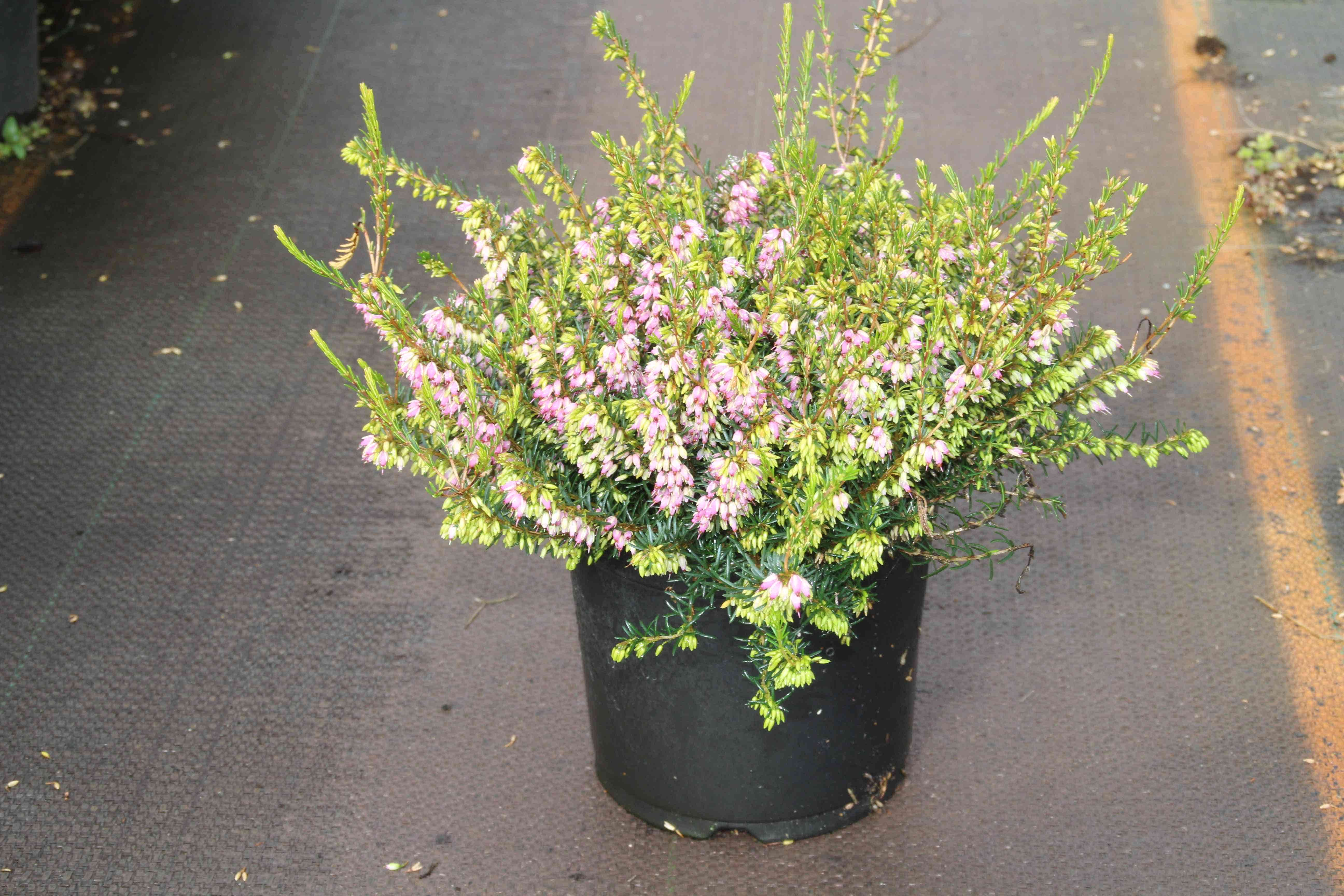 Winterheide lila-roze (Erica darleyensis 'Darley Dale') 15/20 cm