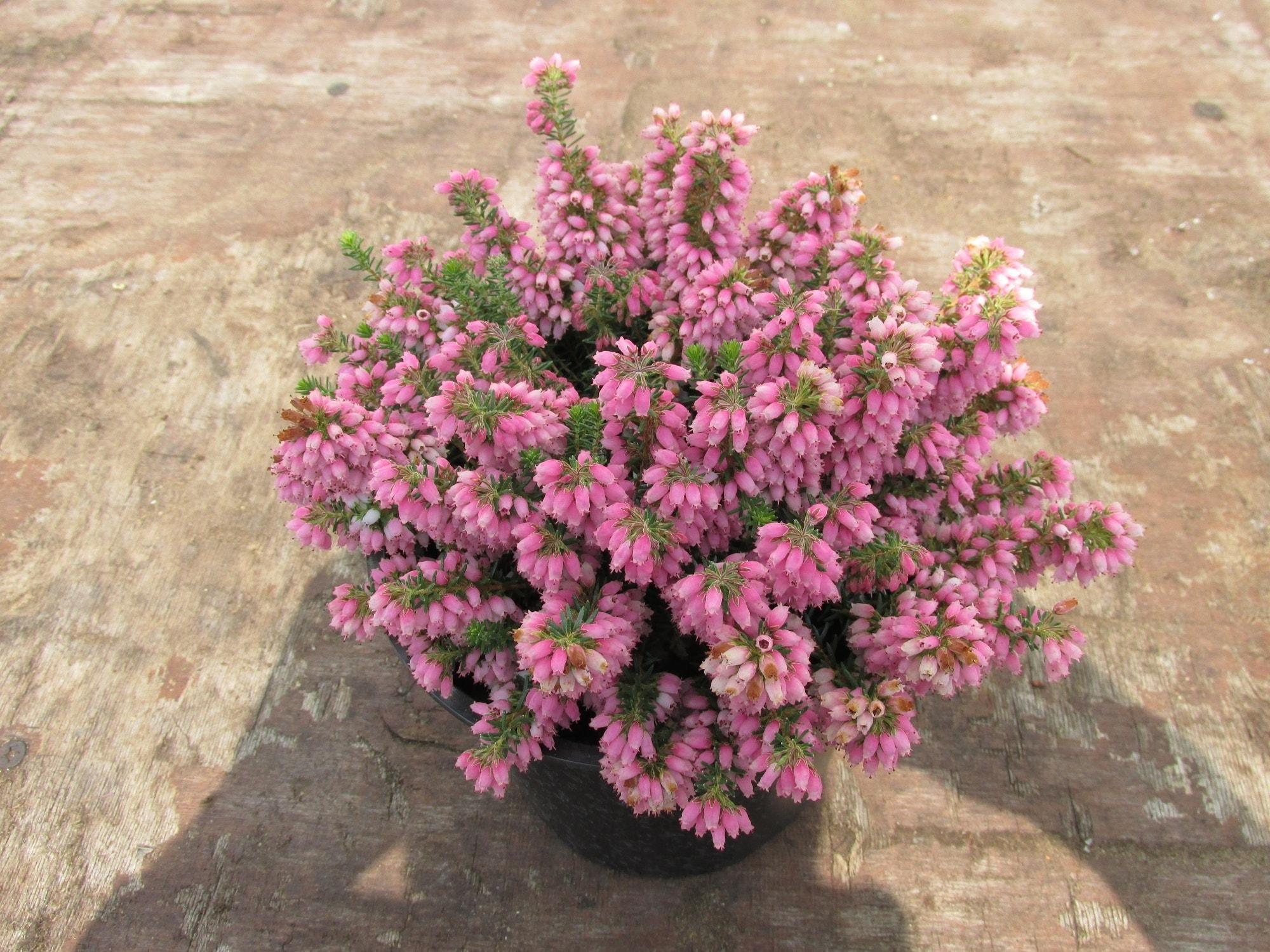 Zwerfheide (Erica williamsii 'Ken Wilson')-Plant in pot-P12. Kleur: roze