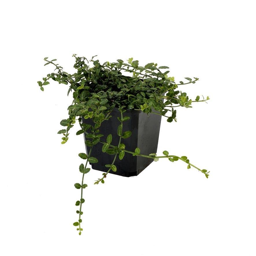 Japanse kardinaalsmuts (Euonymus fortunei 'Minimus')-Plant in pot-C1,5