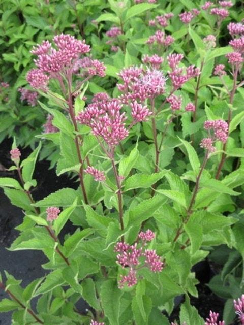 Leverkruid (Eupatorium maculatum 'Atropurpureum')-Plant in pot-C2. Kleur: rood