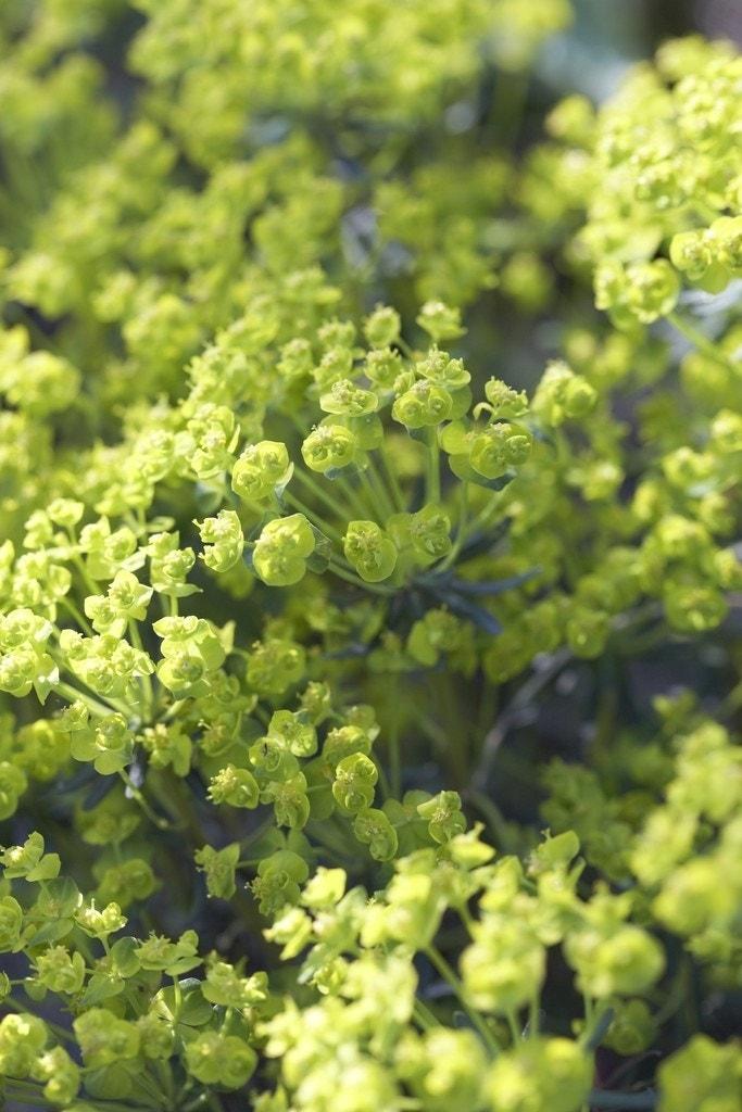 Wolfsmelk (Euphorbia cyparissias 'Clarice Howard') - P9. Kleur: geel