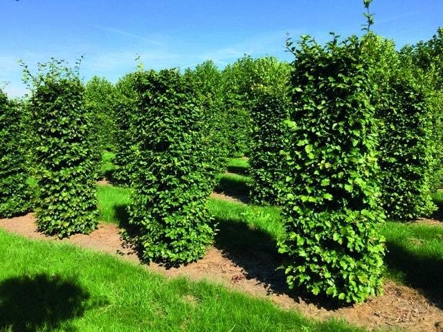 Beukenhaag als Haagelement (Fagus sylvatica)-Plant uit volle grond-200 x 50 x 50 cm