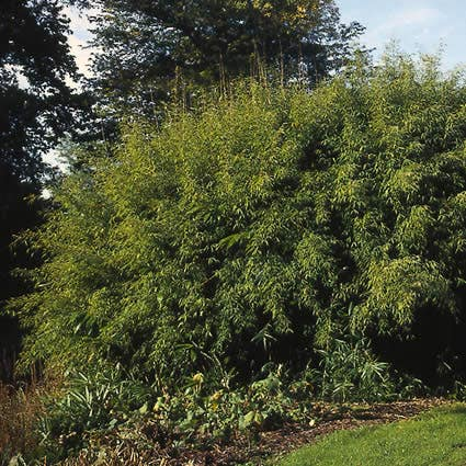 Niet woekerende Bamboe (Fargesia murieliae) - 50/60 cm.