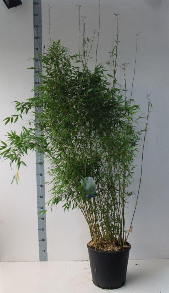 Niet-woekerende bamboe (Fargesia denudata)