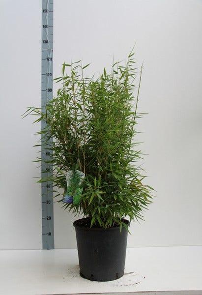 Niet woekerende bamboe (Fargesia 'Standing Stone')-Plant in pot-100/125 cm