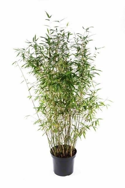 Niet woekerende bamboe (Fargesia 'Dino') 80/100 cm