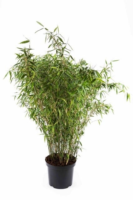 Niet woekerende bamboe (Fargesia murieliae 'Tiny')-Plant in pot-40/50 cm