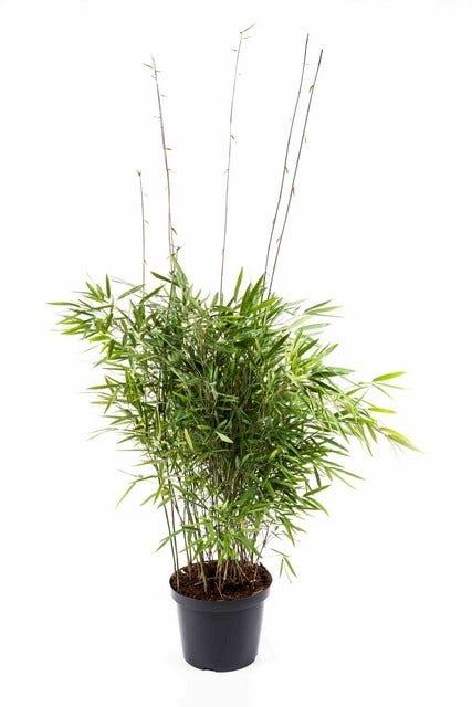 Niet woekerende bamboe (Fargesia nitida 'Trifina')-Plant in pot-50/60 cm