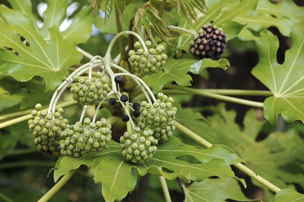 Vingerplant (Fatsia japonica)-Plant in pot-25/30 cm. Kleur: wit