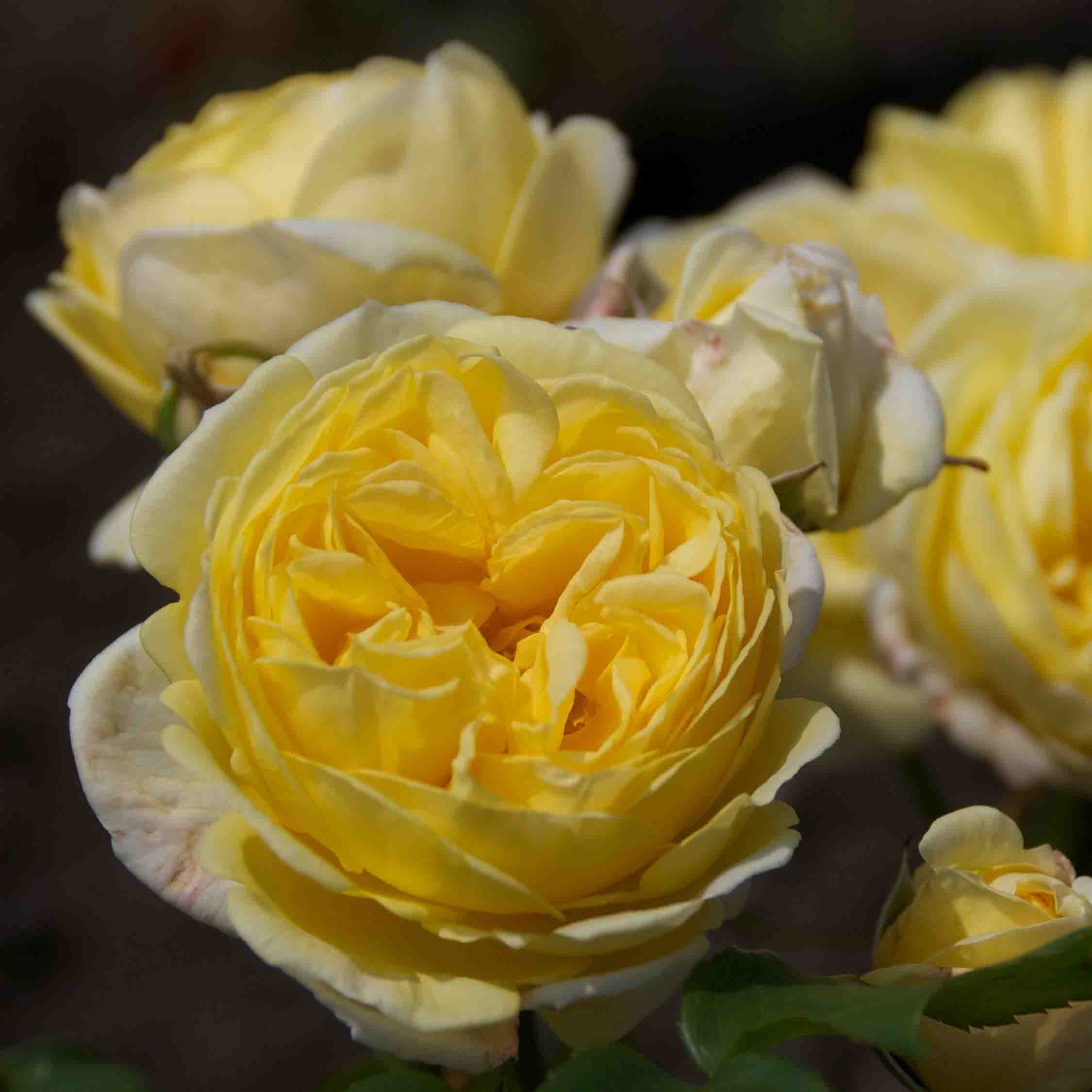 Heesterroos (Rosa 'Fisser Faustinia')-Plant in pot-Container pot