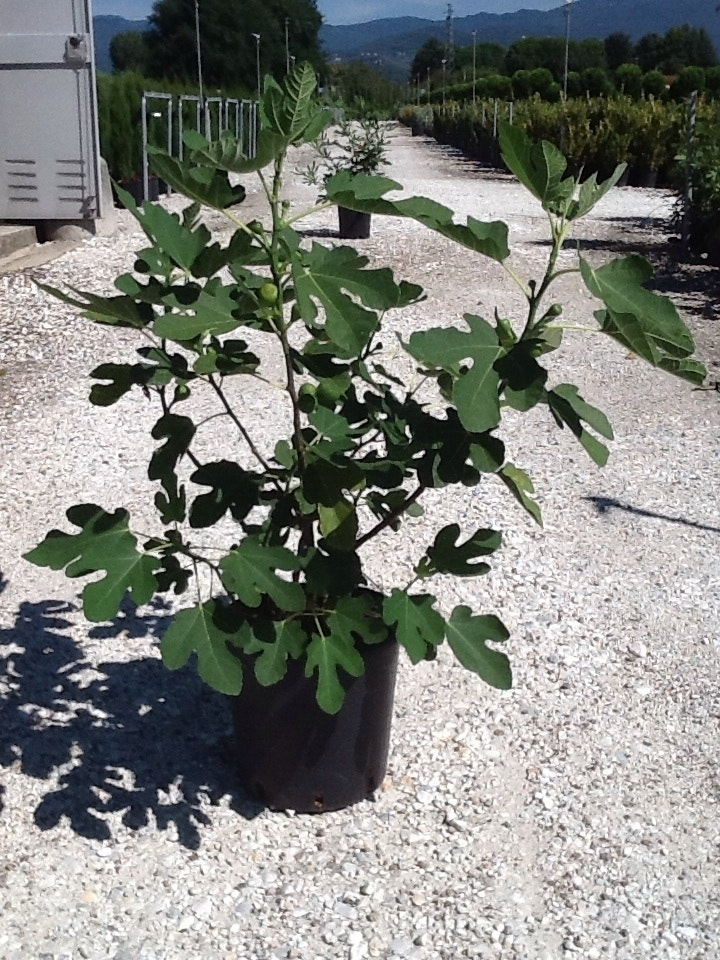 Vijg (Ficus carica 'Brown Turkey')-Plant in pot-C3