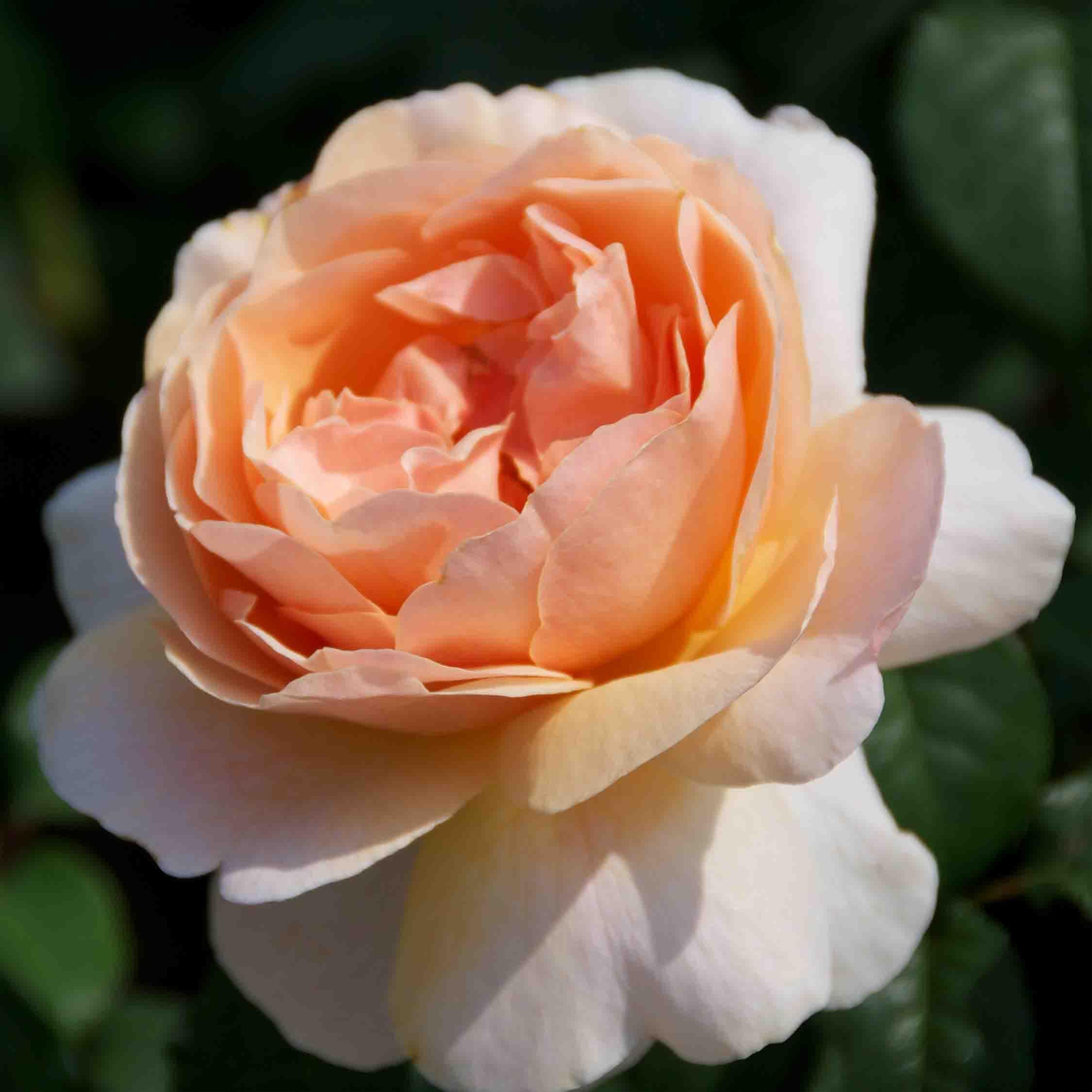 Heesterroos (Rosa 'Fisser Floriana')-Plant in pot-Container pot. Kleur: geel