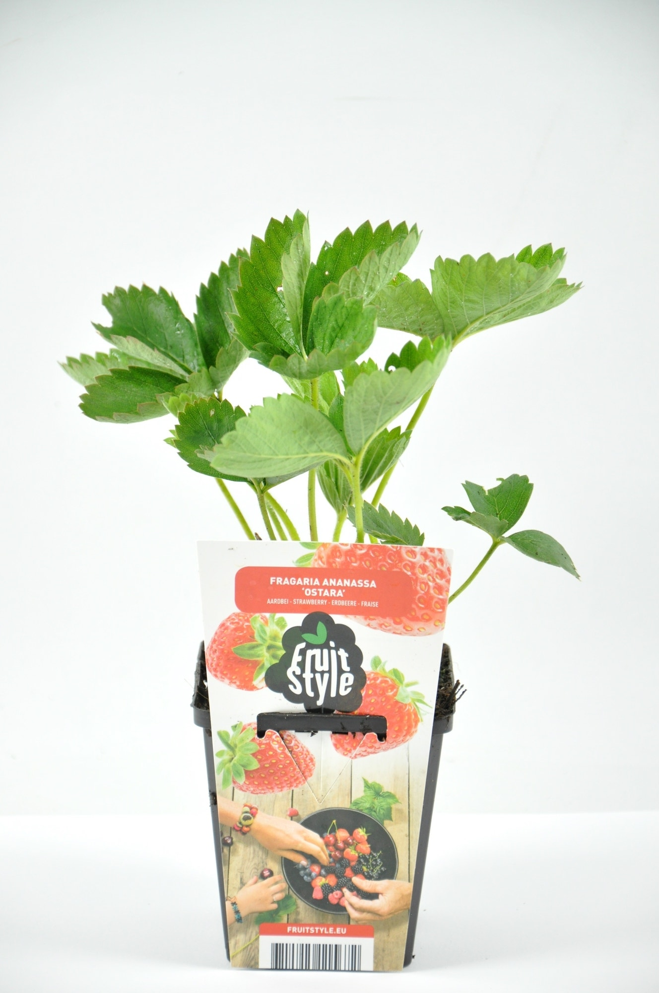 Aardbei (Fragaria ananassa 'Ostara')-Plant in pot-P9 (9x9 cm pot). Kleur: wit