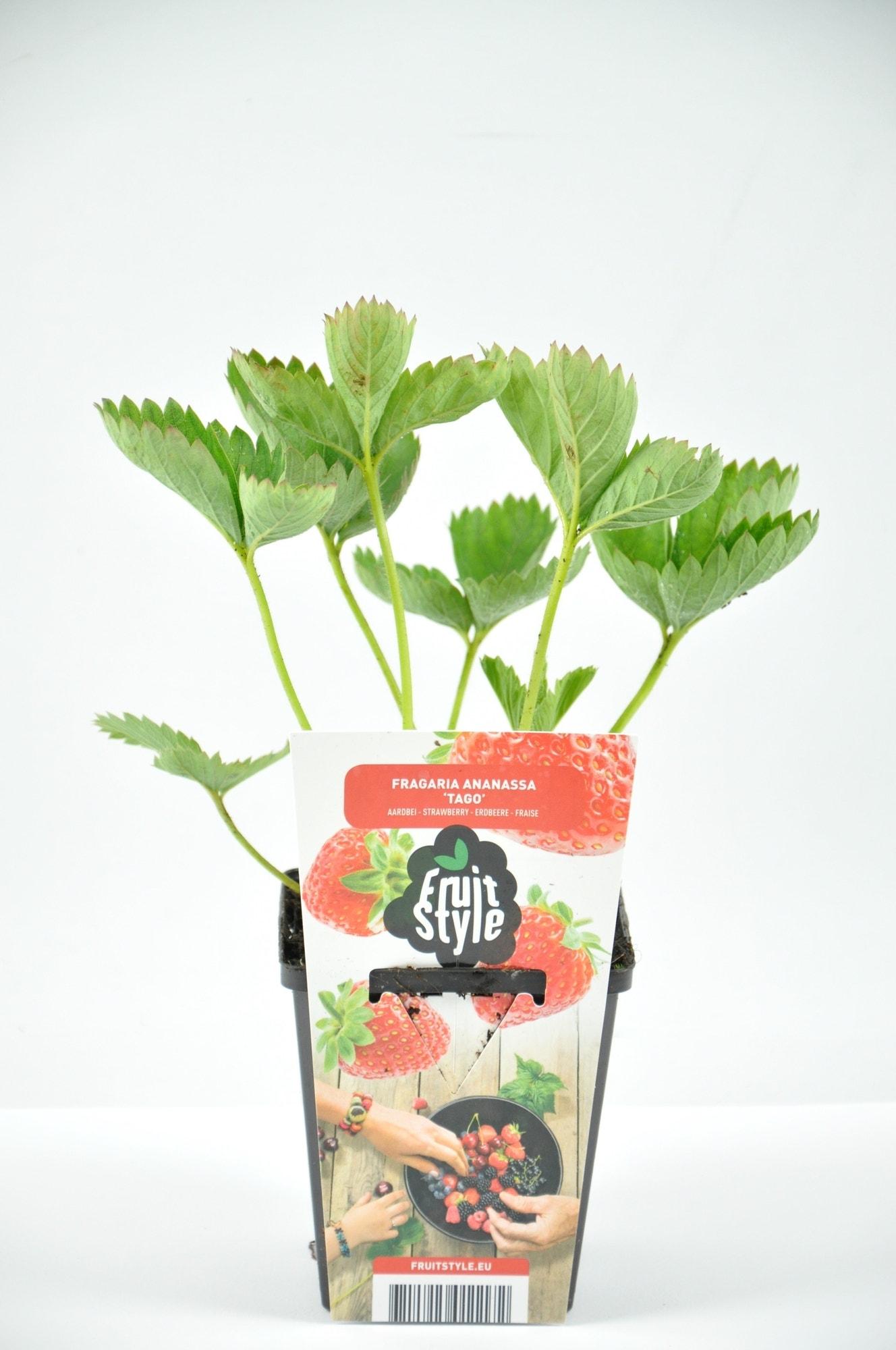 Aardbei (Fragaria ananassa 'Tago')-Plant in pot-P9 (9x9 cm pot). Kleur: wit