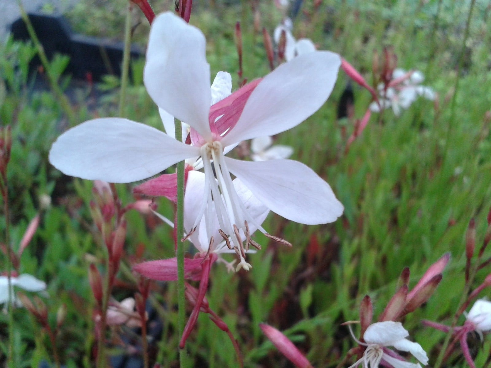 Lindheimer\'s kaars (Gaura lindheimeri)-Plant in pot-C2
