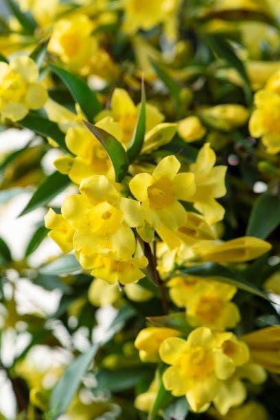 Gele Jasmijn (Gelsemium sempervirens)-Plant in pot-150/175 cm. Kleur: geel