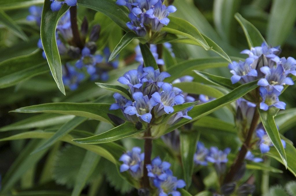 Gentiaan (Gentiana cruciata) - P9. Kleur: blauw