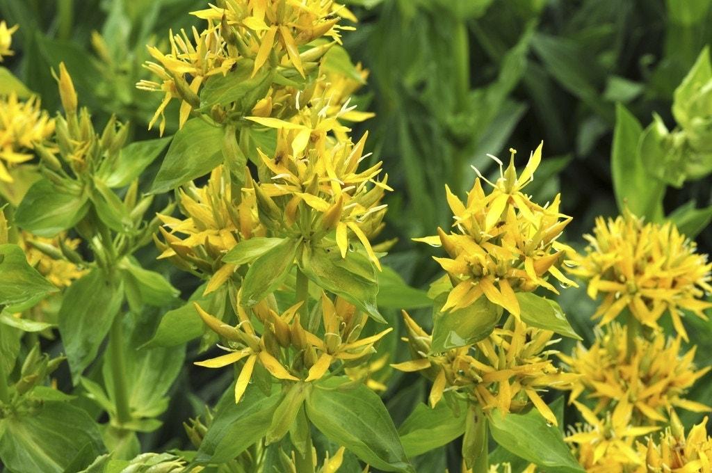 Gentiaan (Gentiana lutea) - P9. Kleur: geel