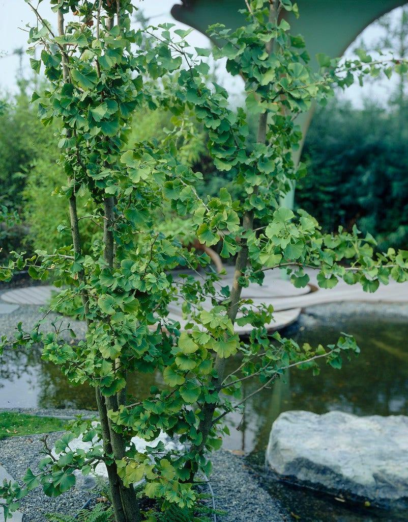 Japanse Notenboom, meerstammig (Ginkgo biloba)