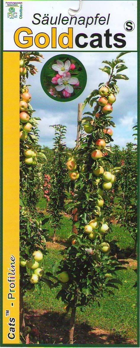 Zuilfruit (Malus domestica 'Goldcats')-Plant in pot-60 cm
