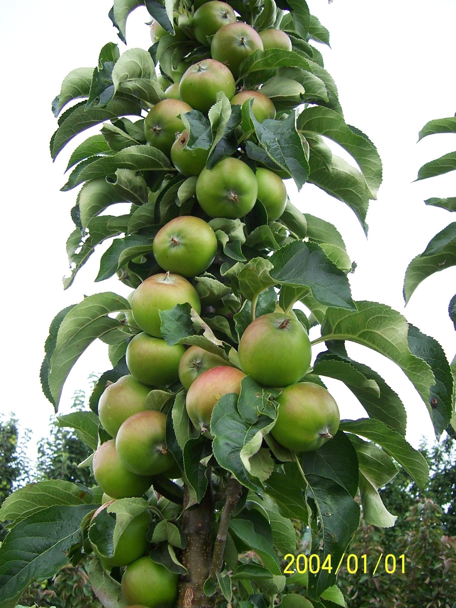 Zuilfruit (Malus domestica 'Greencats')-Plant in pot- 60 cm