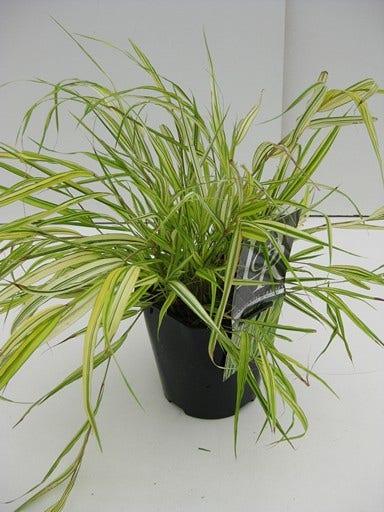 Hakonechloa (Hakonechloa macra 'Aureola')-Plant in pot-C2