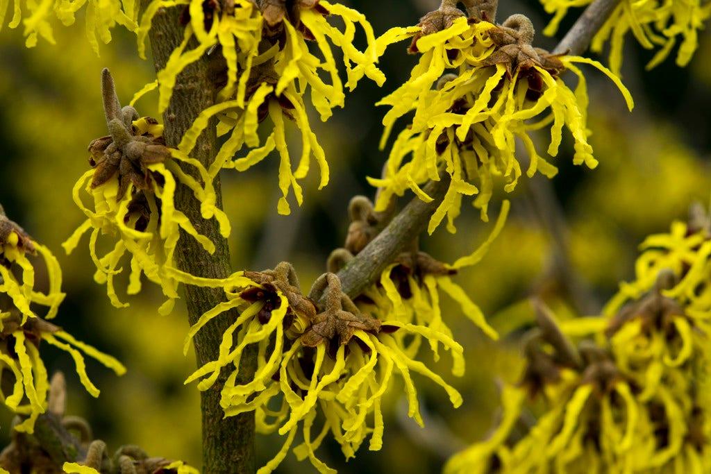 Toverhazelaar (Hamamelis intermedia 'Arnold Promise)-Plant uit volle grond-100/125 cm. Kleur: geel