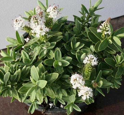 Hebe (Hebe Albicans)-Plant in pot-C10. Kleur: wit