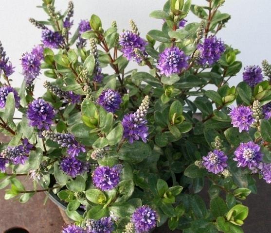 Veronica (Hebe 'Autumn Glory')-Plant in pot-C5. Kleur: paars