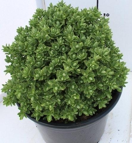 Hebe (Hebe 'Cobb Valley')-Plant in pot-C1,5. Kleur: wit
