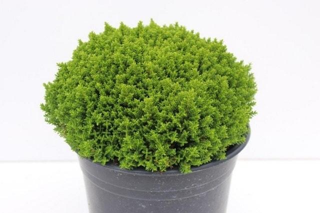 Hebe (Hebe 'Emerald Gem') -Plant in pot-C10