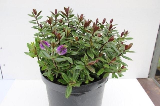 Hebe (Hebe franciscana 'Blue Gem')-Plant in pot-C5