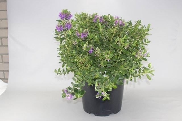Hebe (Hebe franciscana)-Plant in pot-C1,5. Kleur: paars