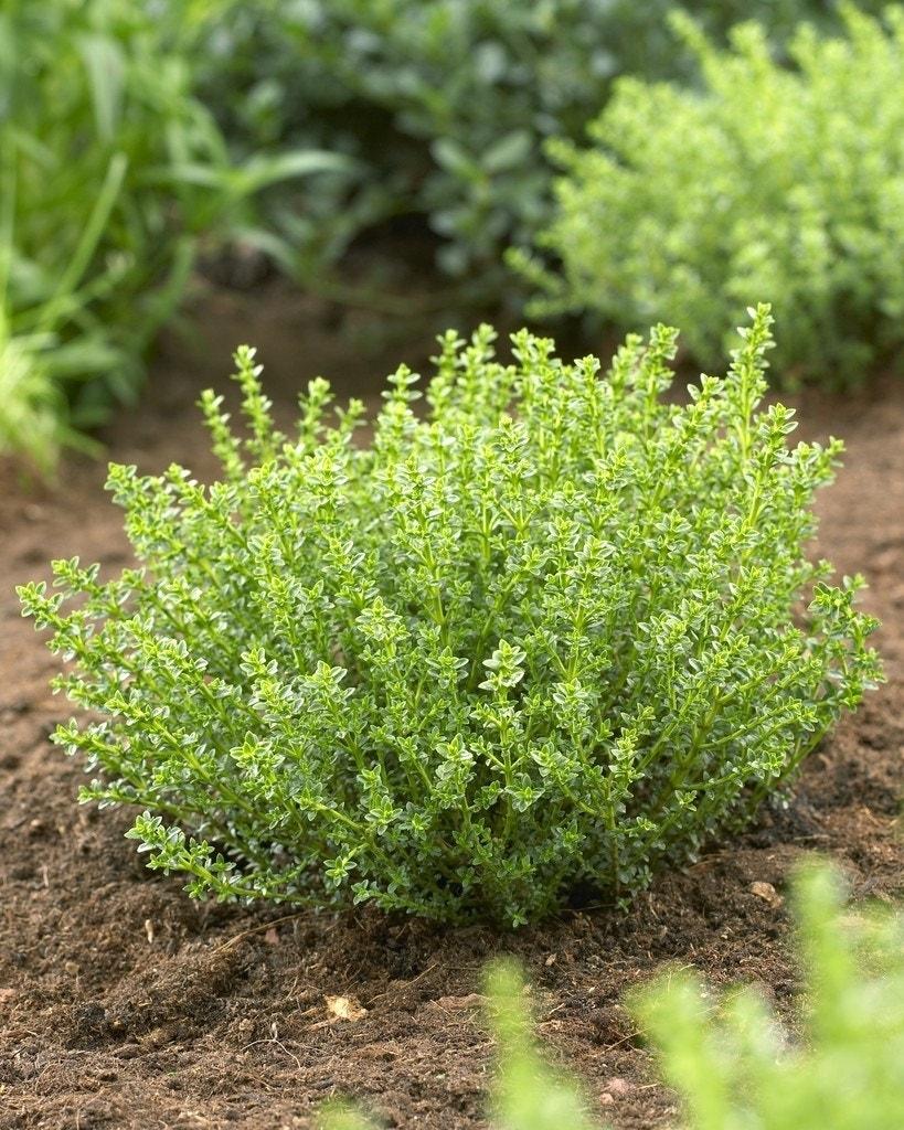 Hebe (Hebe 'Golden Esk')-Plant in pot-C1,5