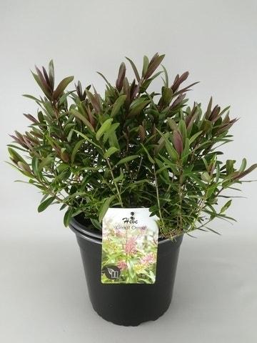Hebe (Hebe 'Great Orme')-Plant in pot-C2. Kleur: roze