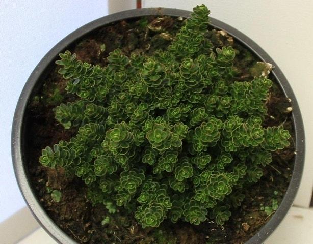 Hebe (Hebe haastii)-Plant in pot-C2. Kleur: wit