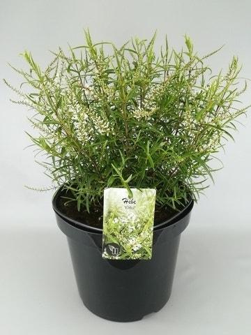 Hebe (Hebe 'Kirkii')-Plant in pot-C2. Kleur: wit