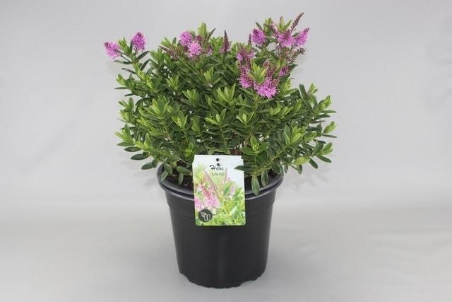 Hebe (Hebe 'Mette')-Plant in pot-C2