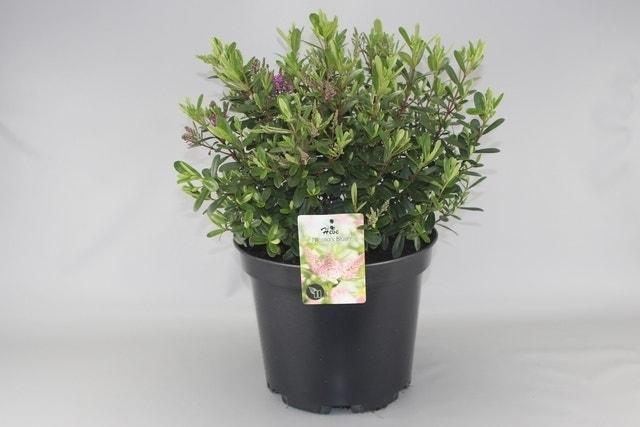 Hebe (Hebe 'Nicola's Blush')-Plant in pot-C1,5