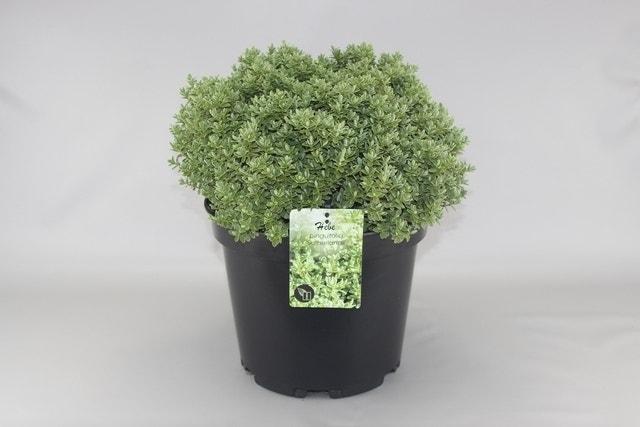 Hebe (Hebe pinguifolia 'Sutherlandii')-Plant in pot-C10. Kleur: wit