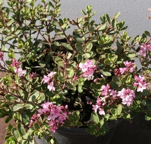 Hebe (Hebe 'Pink Carnaval')-Plant in pot-C2. Kleur: roze