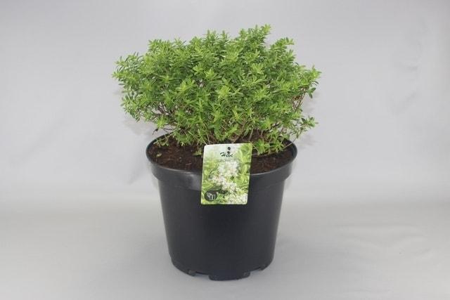 Dwerg Hebe (Hebe 'Rakaiensis')-Plant in pot-C2. Kleur: wit