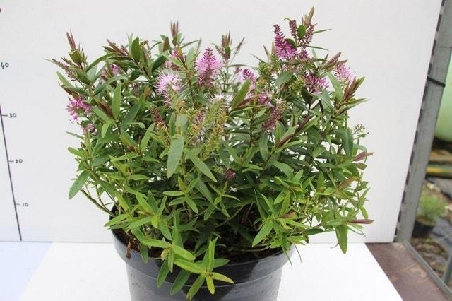 Hebe (Hebe 'Wiri Joy')-Plant in pot-C2. Kleur: roze