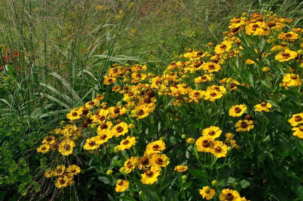 Zonnekruid (Helenium 'Goldrausch') . Kleur: geel