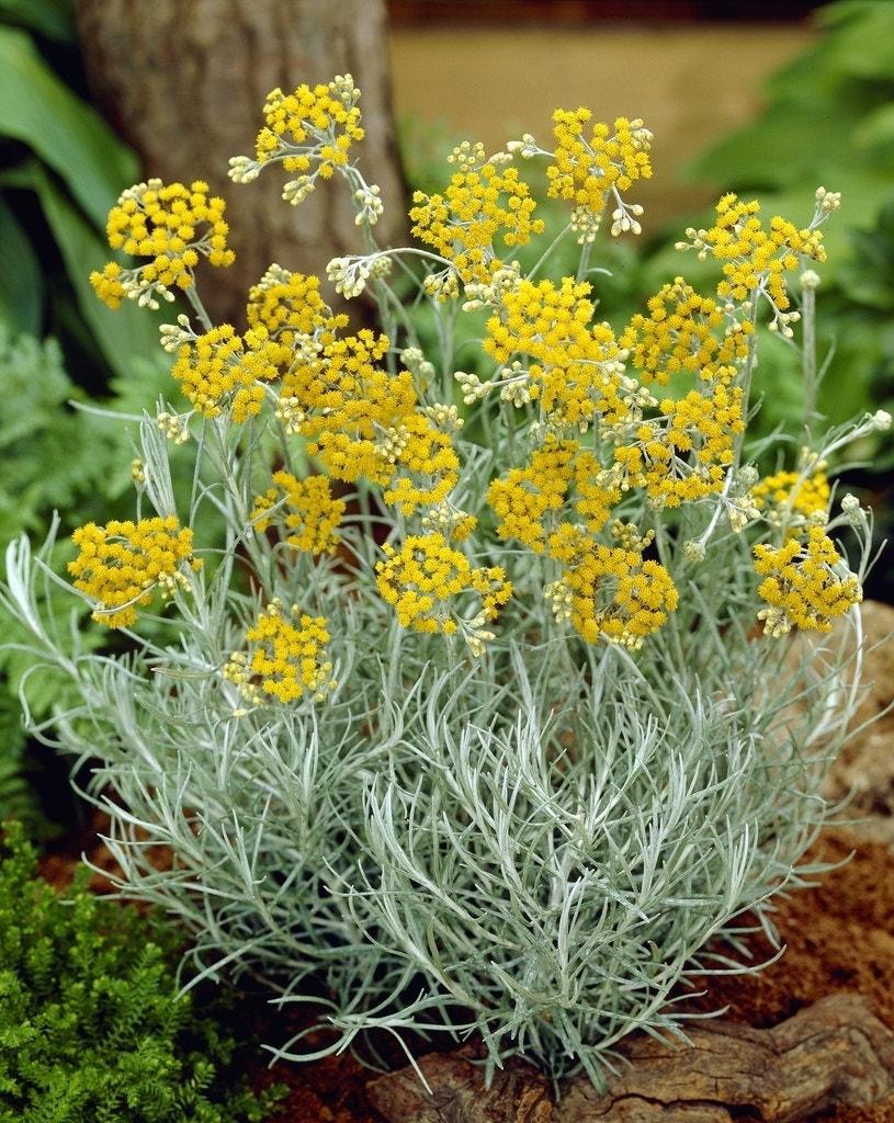Kerrieplant (Helichrysum italicum)-Plant in pot-C1,5. Kleur: geel