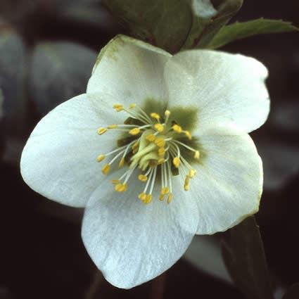 Kerstroos (Helleborus niger). Kleur: wit